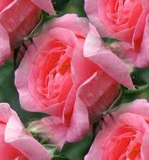 pink roses xxxxxxxxxxxxx